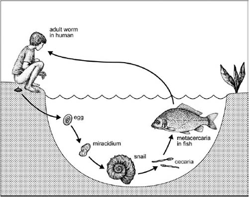 The zoobenthos role in the development of the parasitic communities in Kuchurgan reservoir