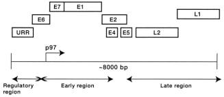 human papillomavirus infection epidemiology and pathophysiology cancer uretra femenina