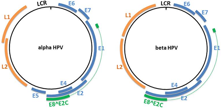 human papilloma virus genome penyakit human papillomavirus