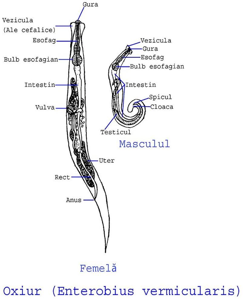 enterobius vermicularis hembra y macho ndc human papillomavirus vaccine