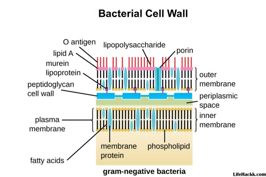 CLASIFICAREA BACTERIILOR   Gram Negative Bacteria   Diseases And Disorders