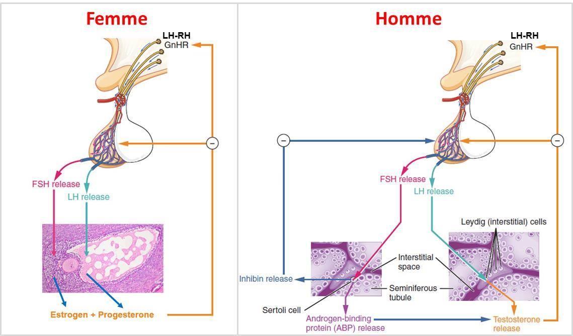 cancer hormonal homme parazitii goana dupa iluzii