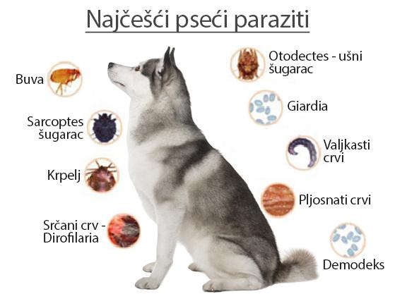 Cancer de plamani se trateaza, Paraziti u oku psa