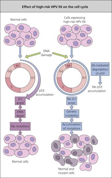 papillomavirus cellule animale papilloma virus kod dece
