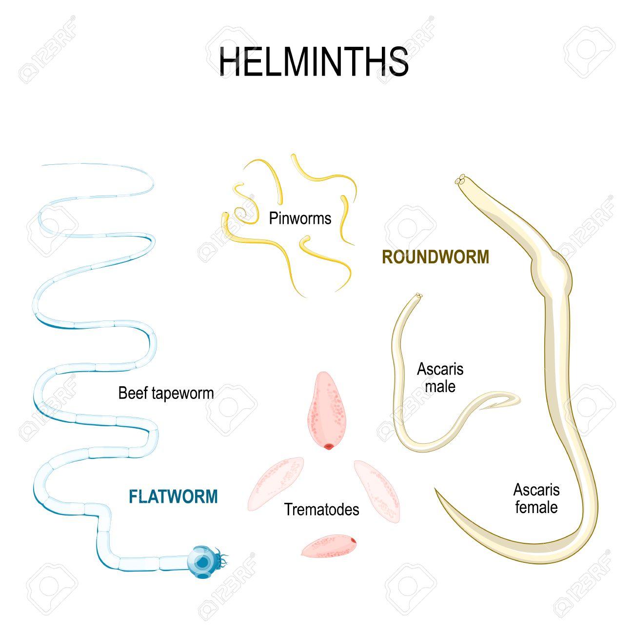 gusanos intestinales oxiuros