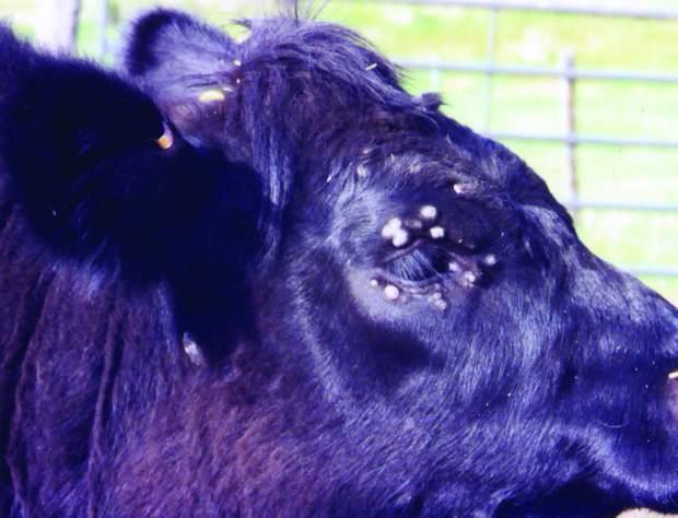 papilloma virus in cows