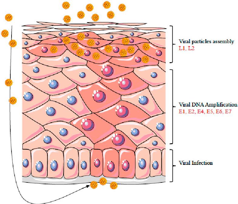 human papillomavirus replication process