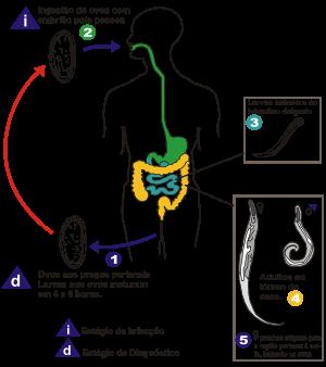 oxiurose tratamento sintomas