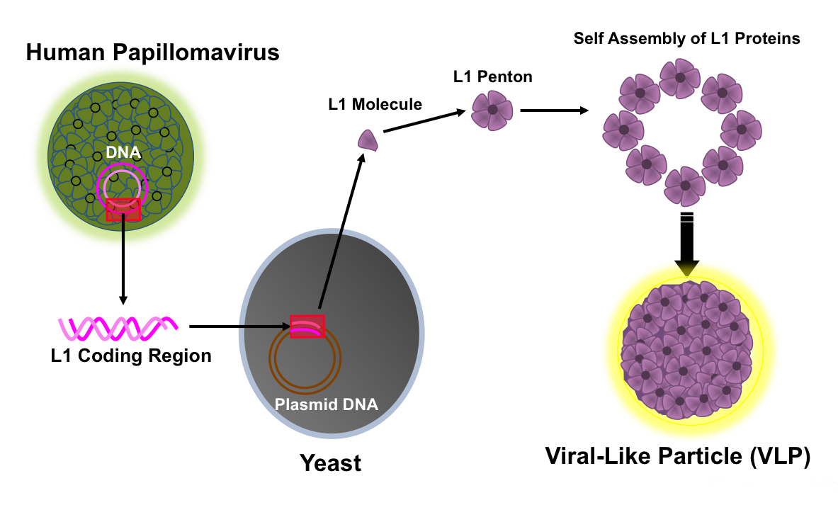 hpv virus and vaccination