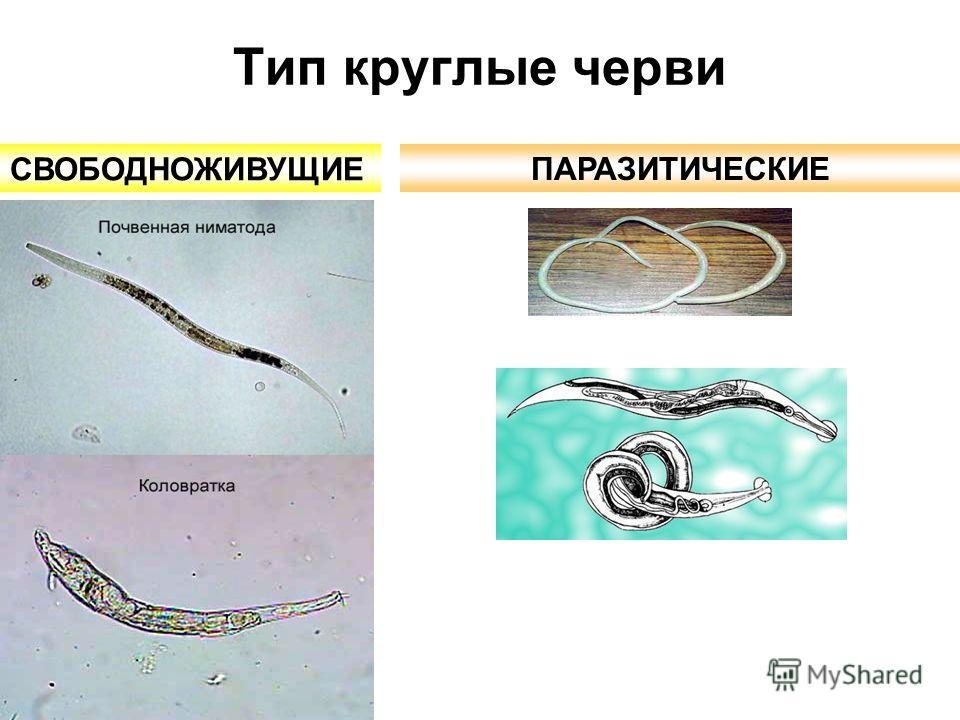 paraziti ascaris tratamiento farmacologico de oxiuros