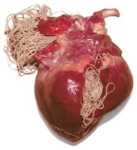 Dirofilarioza: boala viermelui la inima   VetCenter