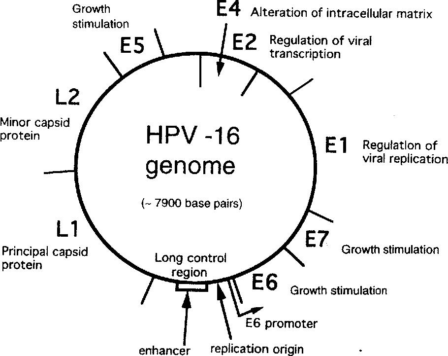human papillomavirus infection molecule hpv treatment on cervix