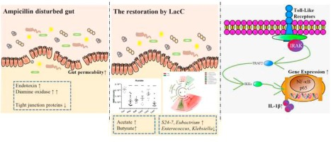 dysbiosis antibiotics