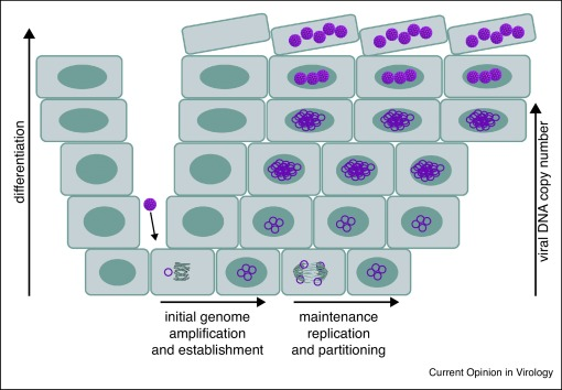 replication of papillomavirus