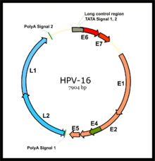 hpv latency cervical cancer