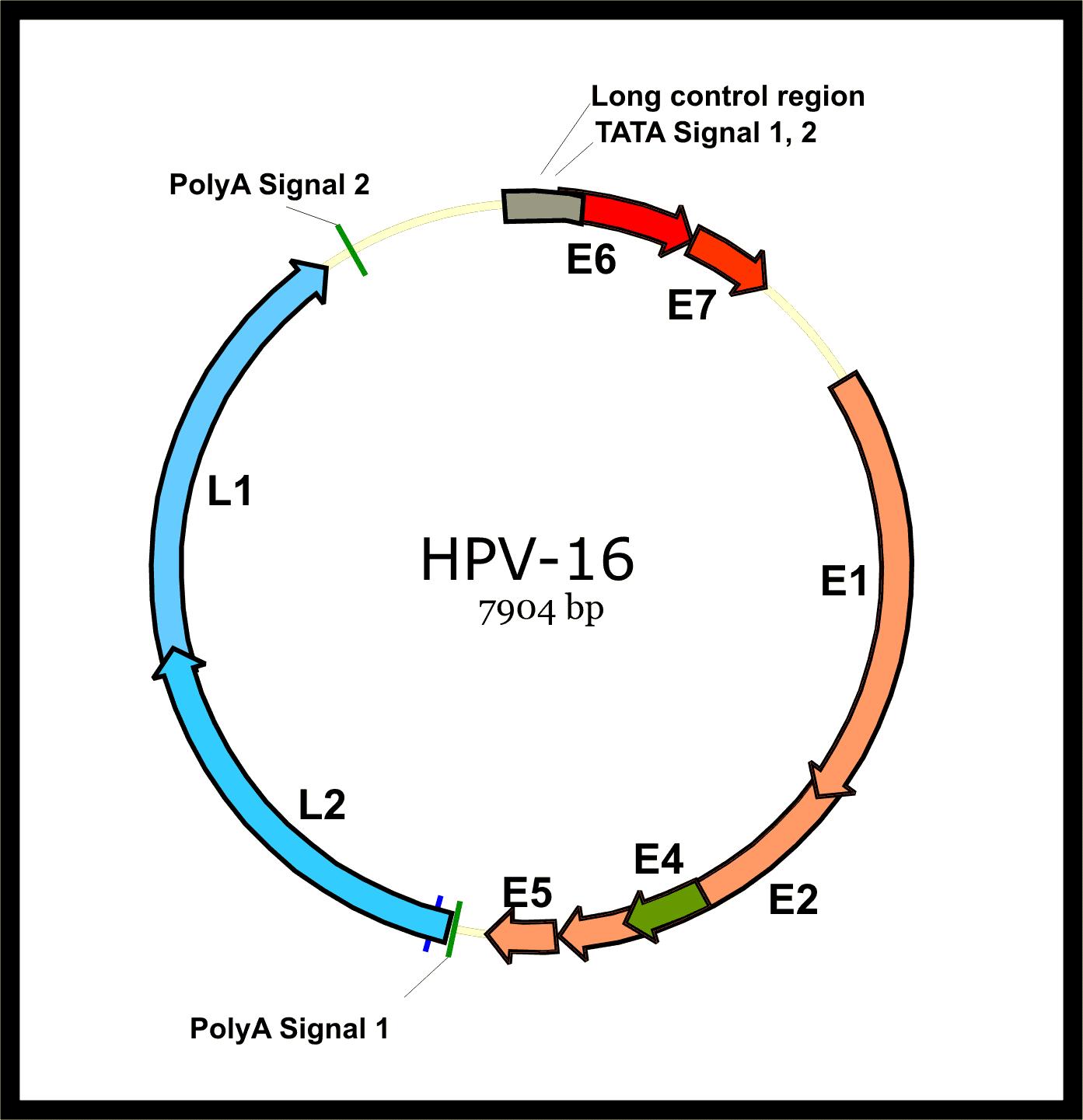 papillomavirus human genomes hpv warzen bekampfen