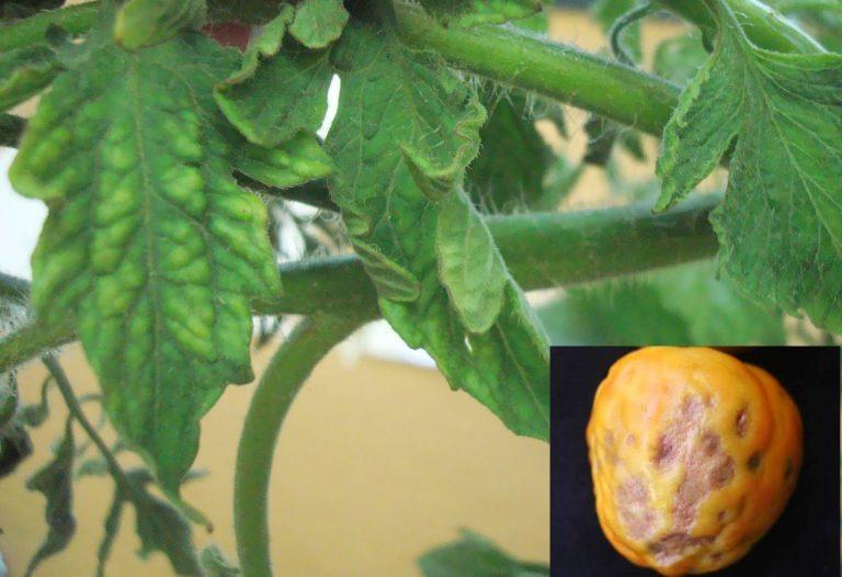 Cancerul bacterian al tomatelor