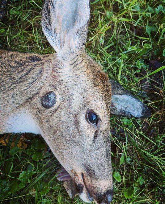 warts on deer ears