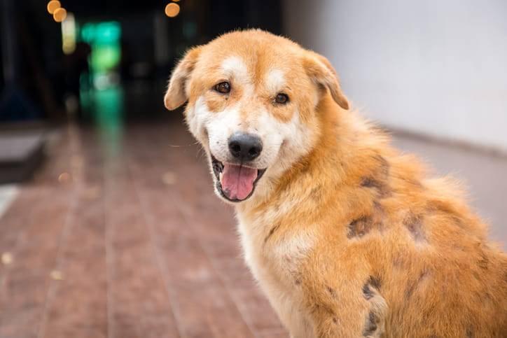 dermatite canina papillomavirus papilloma virus