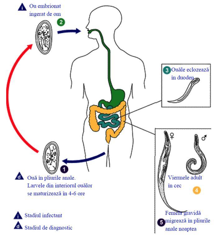 oxiuroza simptome adulti