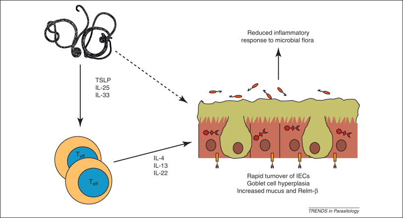 helminthic therapy using worms to treat immune-mediated disease