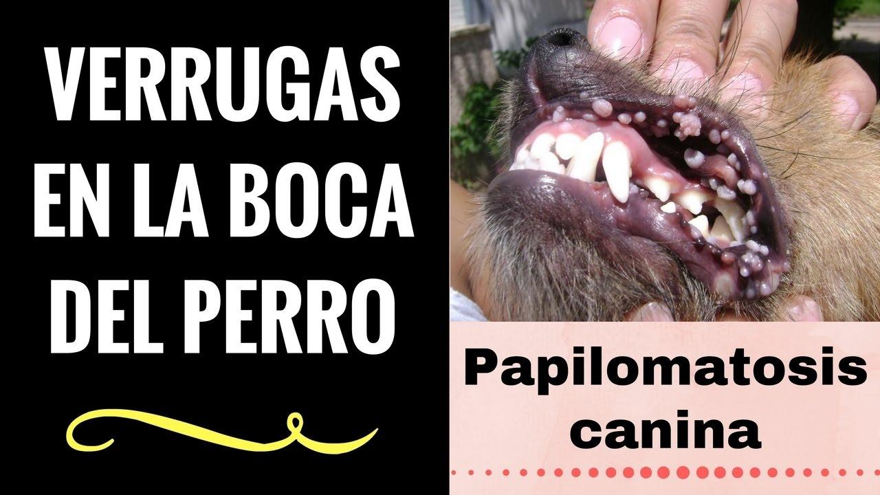 virus del papiloma a perros