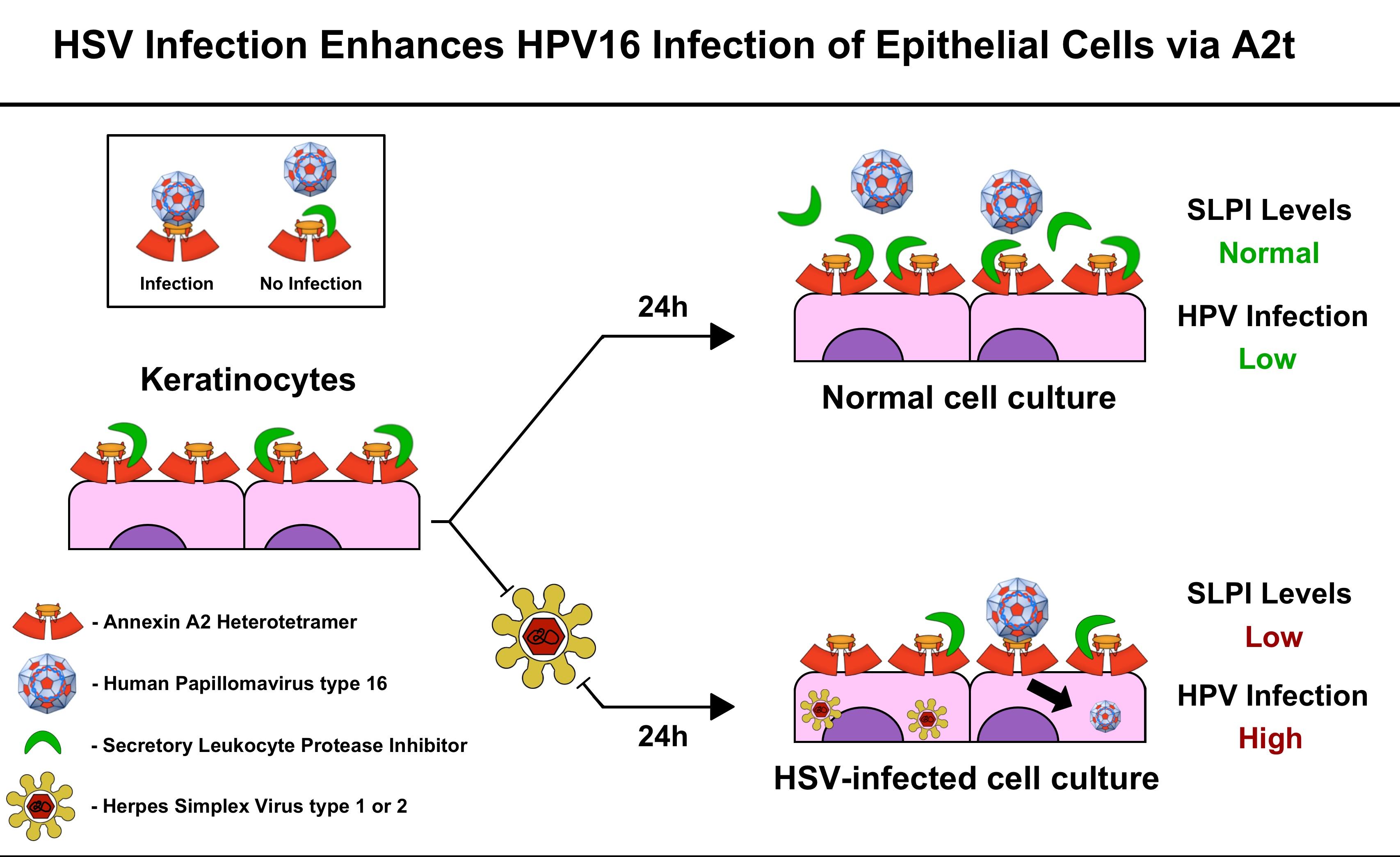 human papilloma herpes