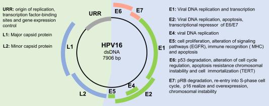human papilloma virus genome
