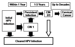 human papillomavirus infection timeline