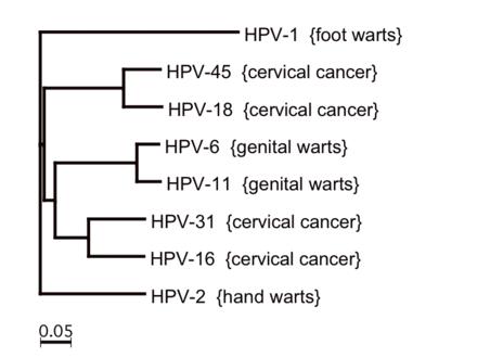 human papillomavirus type 16 and 18 cervical cancer hpv causa cancer em homem