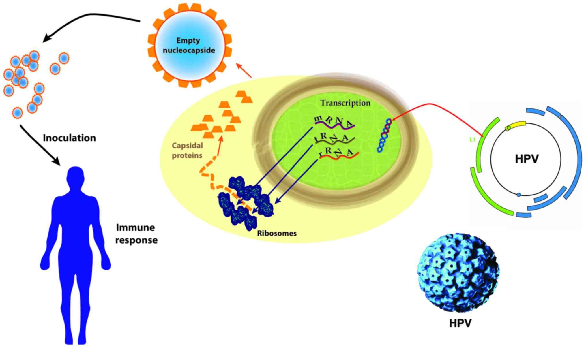 papillomavirus transmission routes