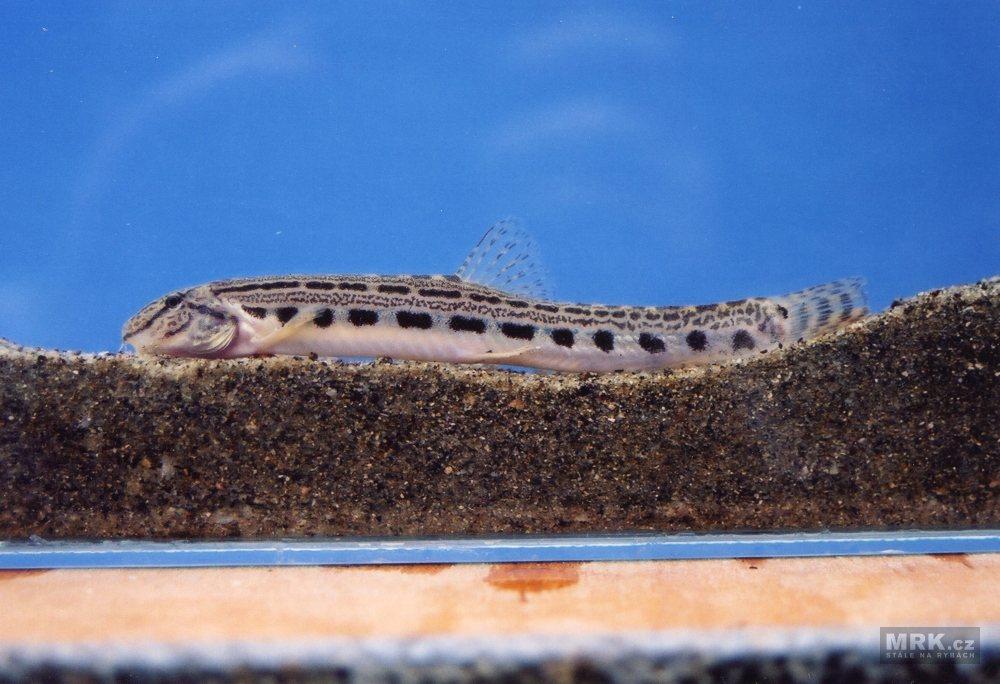 paraziti na rybach