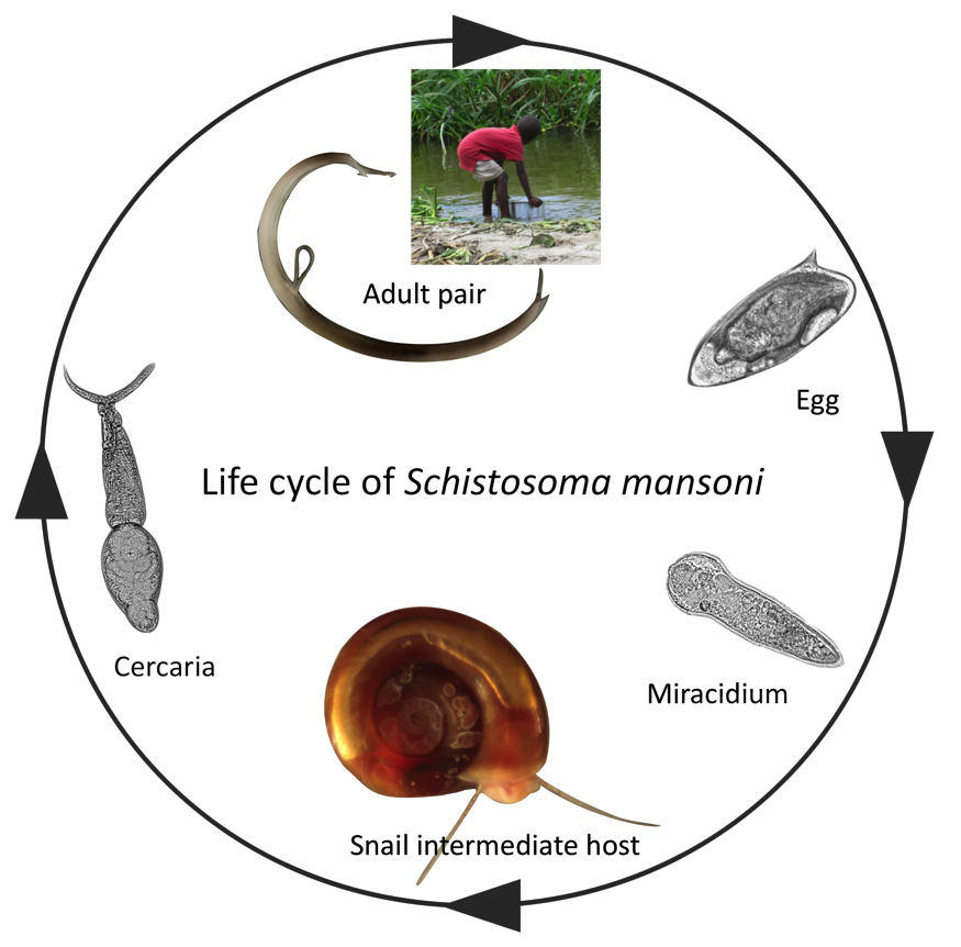paraziti bilharzia