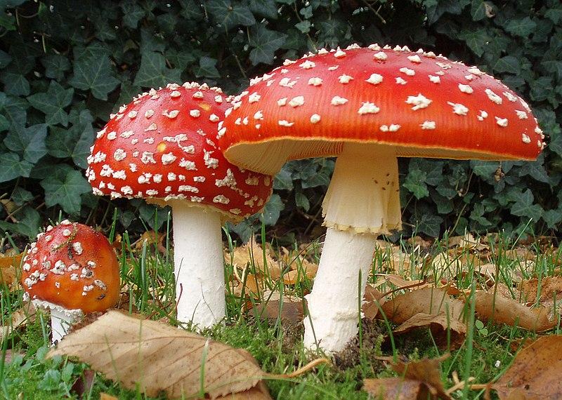 Categorie:Ciuperci otrăvitoare - Wikipedia
