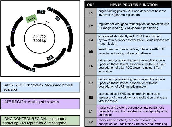 human papilloma virus genome cauze cancer la rinichi