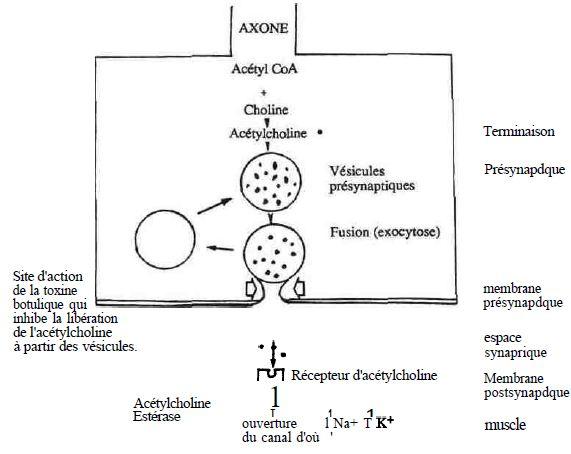 EFECTELE BIOLOGICE ALE TOXINELOR UREMICE – Romanian Journal of Infectious Diseases