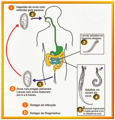 oxiuros ciclo vital hiv infection and prostate cancer