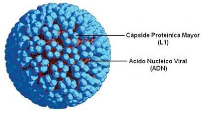 el papiloma virus humano