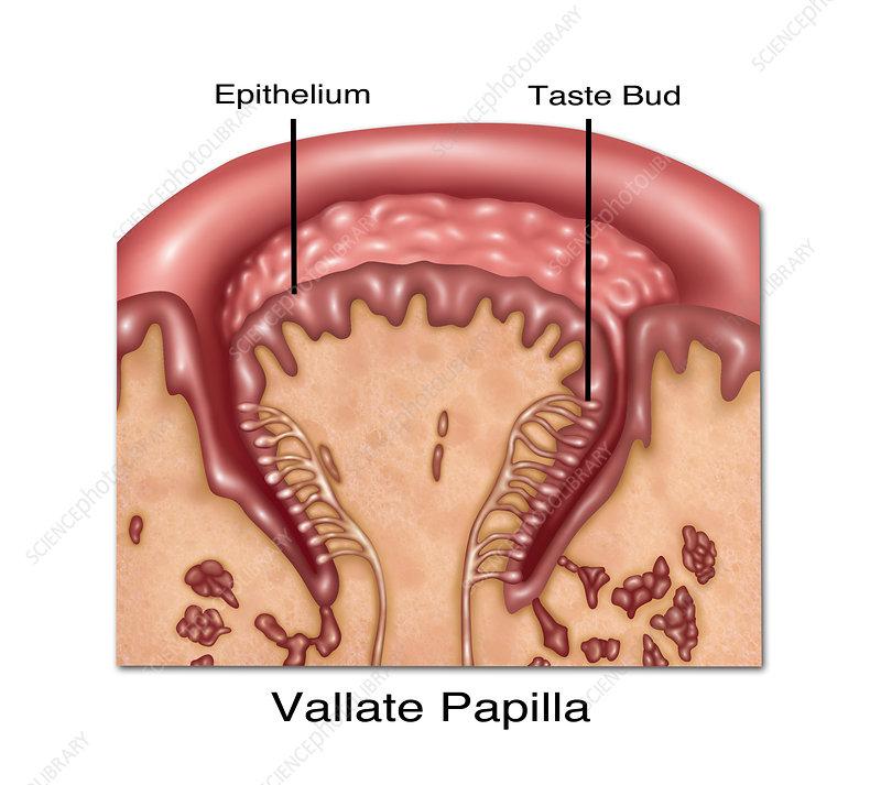 human papillomavirus vaccine dosage