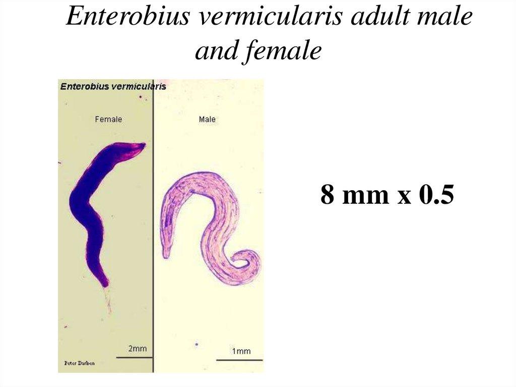 enterobius vermicularis female and male