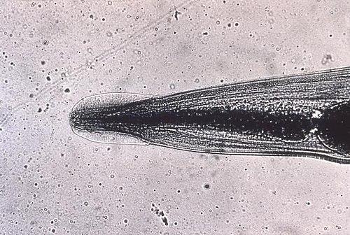 Drog de pinworm