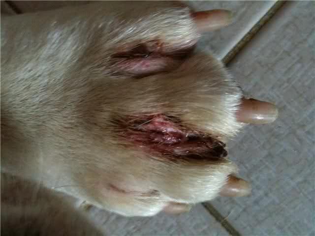 Dermatite In Llama