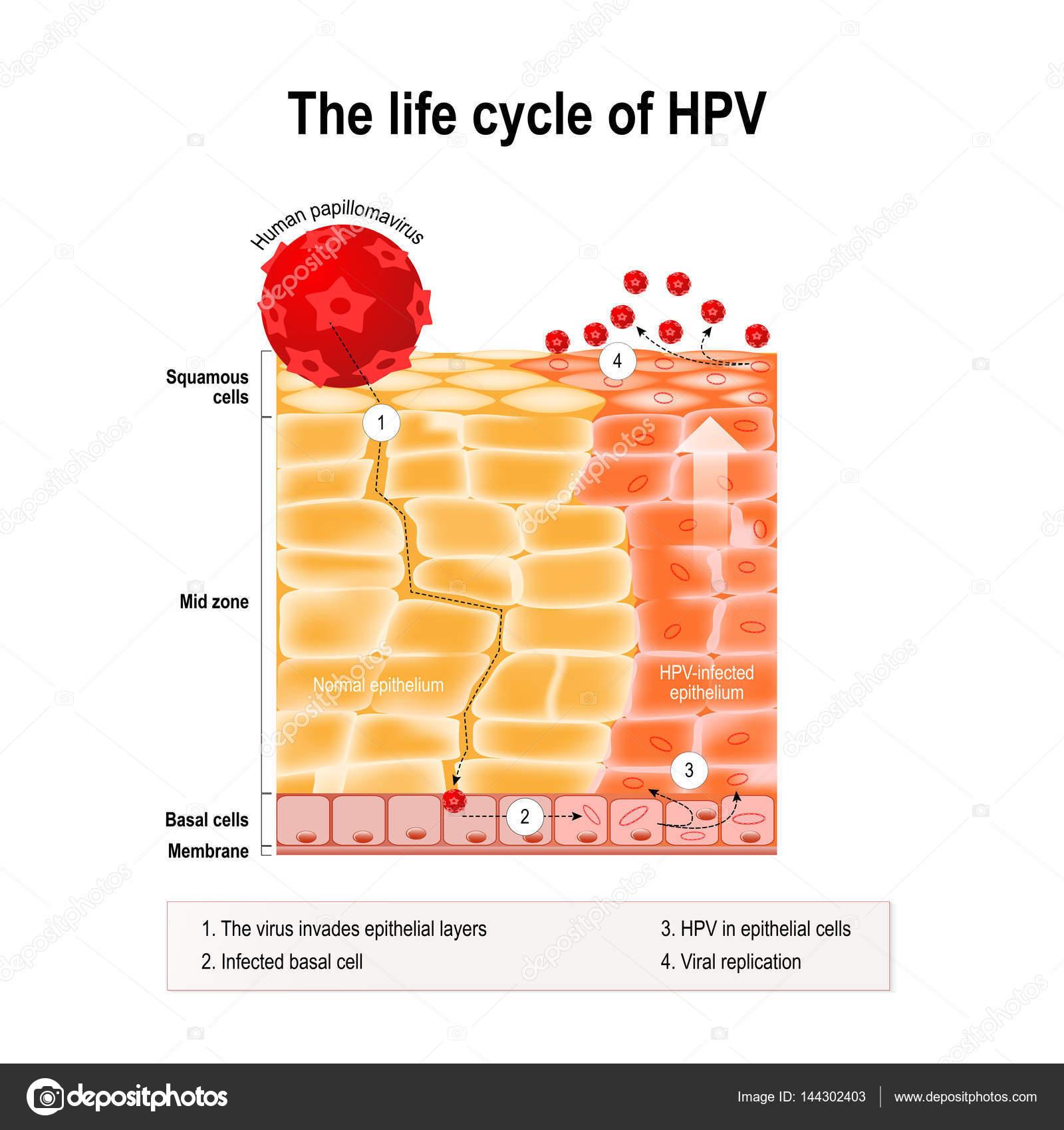 hpv virus life cycle que es la oxiuriasis