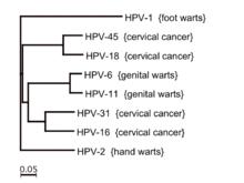 wart virus family papiloma humano todo